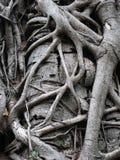 根形式老巨型树的纹理 免版税库存图片