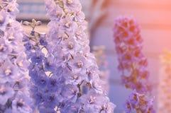 根据太阳的美丽的精美蓝色和紫色花祝贺的 免版税库存图片
