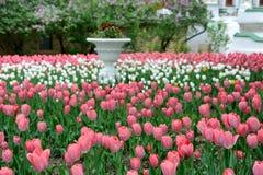 根据拉夫拉的美丽的明亮的桃红色和白色郁金香 库存照片