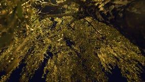 根据街灯的桦树分支 股票录像