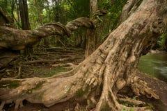 根树在森林里。 免版税库存照片