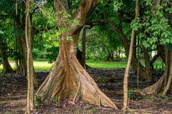 根源树, Acomat Boucan热带阔叶树caribaea,瓜德罗普 库存照片