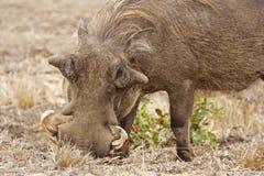 根源的warthog 免版税库存照片