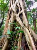 根源结构树 大树在森林里 免版税库存图片
