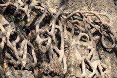 根源结构树 库存图片