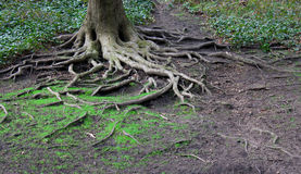 根源被扭转的结构树 免版税图库摄影