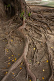 根结构树 免版税库存图片