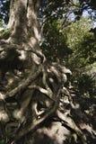 根缠结了结构树 免版税库存照片