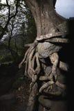 根缠结了结构树 免版税图库摄影