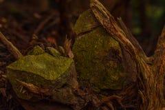 根被捉住的岩石,日光日本 库存图片