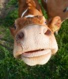 根西岛母牛 免版税库存图片