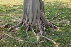 根结构树 库存照片