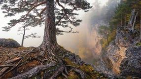 根 阴沉的与一棵孤立杉木的秋天山有雾的风景在峭壁和卷曲被暴露的根的边缘 免版税图库摄影
