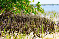 白色美洲红树在盐水海湾的根系统 免版税库存图片