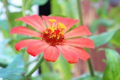 格伯花在庭院, chiangmai里 免版税库存图片