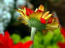 格伯雏菊一个不同的看法 免版税库存照片