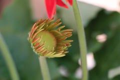 格伯雏菊花红色和黄色面孔 免版税库存照片