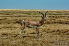 格兰特在塞伦盖蒂的伟大的大草原浩瀚的瞪羚身分 图库摄影