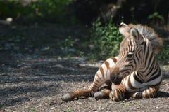 格兰特的斑马驹休息 免版税图库摄影