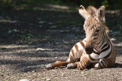 格兰特的斑马驹休息 免版税库存照片