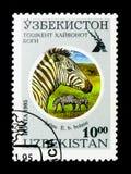 格兰特的斑马(马属拟斑马boehmi),塔什干动物园serie,大约1 库存图片