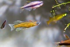 格特鲁德rainbowfish 库存照片