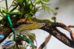 格特鲁德rainbowfish 库存图片