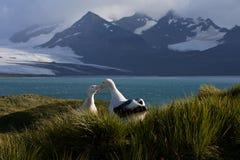 格罗特Albatros,斯诺伊(漫步)信天翁, Diomedea (exulans) 图库摄影