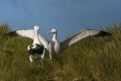 格罗特Albatros,斯诺伊(漫步)信天翁, Diomedea (exulans) 库存图片