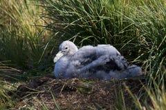 格罗特Albatros,斯诺伊(漫步)信天翁, Diomedea (exulans) 免版税图库摄影