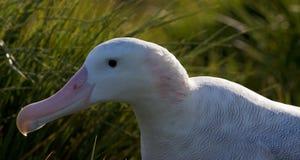 格罗特Albatros,斯诺伊(漫步)信天翁, Diomedea (exulans) 免版税库存图片