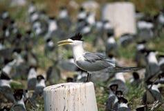 格罗特Kuifstern,伟大的有顶饰燕鸥, Thalasseus bergii 免版税库存图片