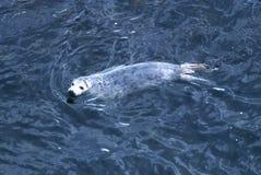 格陵兰海豹 库存图片