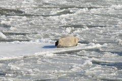 格陵兰海豹 图库摄影
