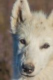 格陵兰狗小狗,西西缪特,格陵兰 库存图片