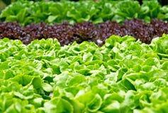 水栽法健康食物的菜农场 免版税库存照片