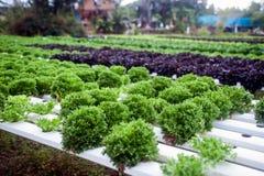水栽法农场自Corofield的,泰国温室 免版税库存照片