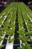 水栽法农场自Corofield的,泰国温室 免版税图库摄影