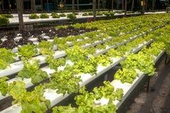 水栽法农场自Corofield的,泰国温室 库存照片