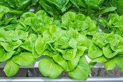 水栽法绿色长叶莴苣菜。 免版税库存照片