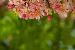 桂皮bakeriana可爱的花  库存照片