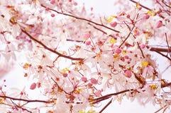 桂皮bakeriana或桃红色阵雨 图库摄影