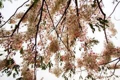 桂皮bakeriana Craib或桃红色阵雨树可爱的花在泰国 库存图片