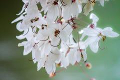 桂皮bakeriana Craib或桃红色阵雨树可爱的花在泰国 图库摄影