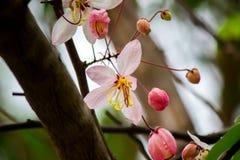 桂皮bakeriana Craib或桃红色阵雨树可爱的花在泰国 库存照片