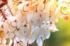 桂皮bakeriana Craib或桃红色阵雨树可爱的花在泰国 免版税库存照片