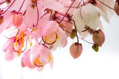 桂皮bakeriana Craib或桃红色阵雨树可爱的花在泰国 免版税图库摄影