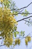 桂皮fistula& x28; 金黄阵雨tree& x29; 主要开花在夏天劳动节 It& x27; 也s泰国的全国花 库存照片