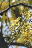 桂皮fistula& x28; 金黄阵雨tree& x29; 主要开花在夏天劳动节 It& x27; 也s泰国的全国花 免版税库存图片