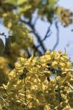 桂皮fistula& x28; 金黄阵雨tree& x29; 主要开花在夏天劳动节 It& x27; 也s泰国的全国花 免版税库存照片